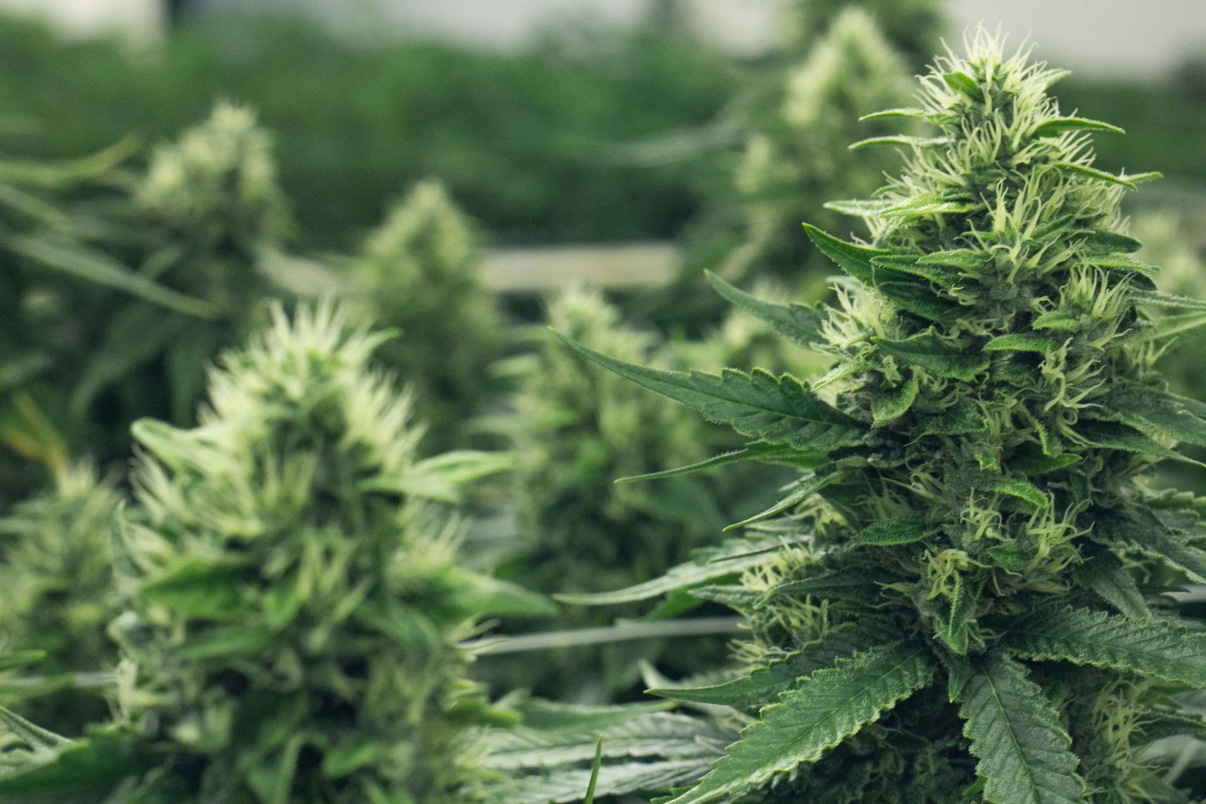 Top Cannabis Strains In Colorado - Colorado Harvest Company