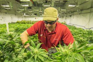 Natural Cannabis Colorado - Recreational