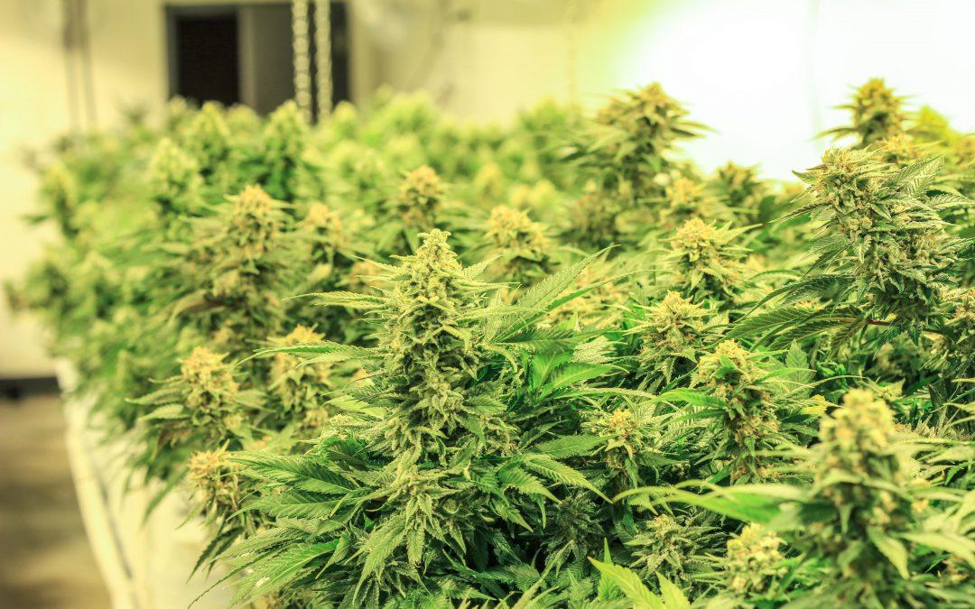 Recreational Cannabis VS Medical Cannabis
