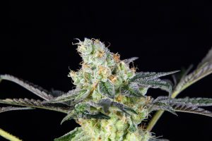 Gasphalt Cannabis Strain