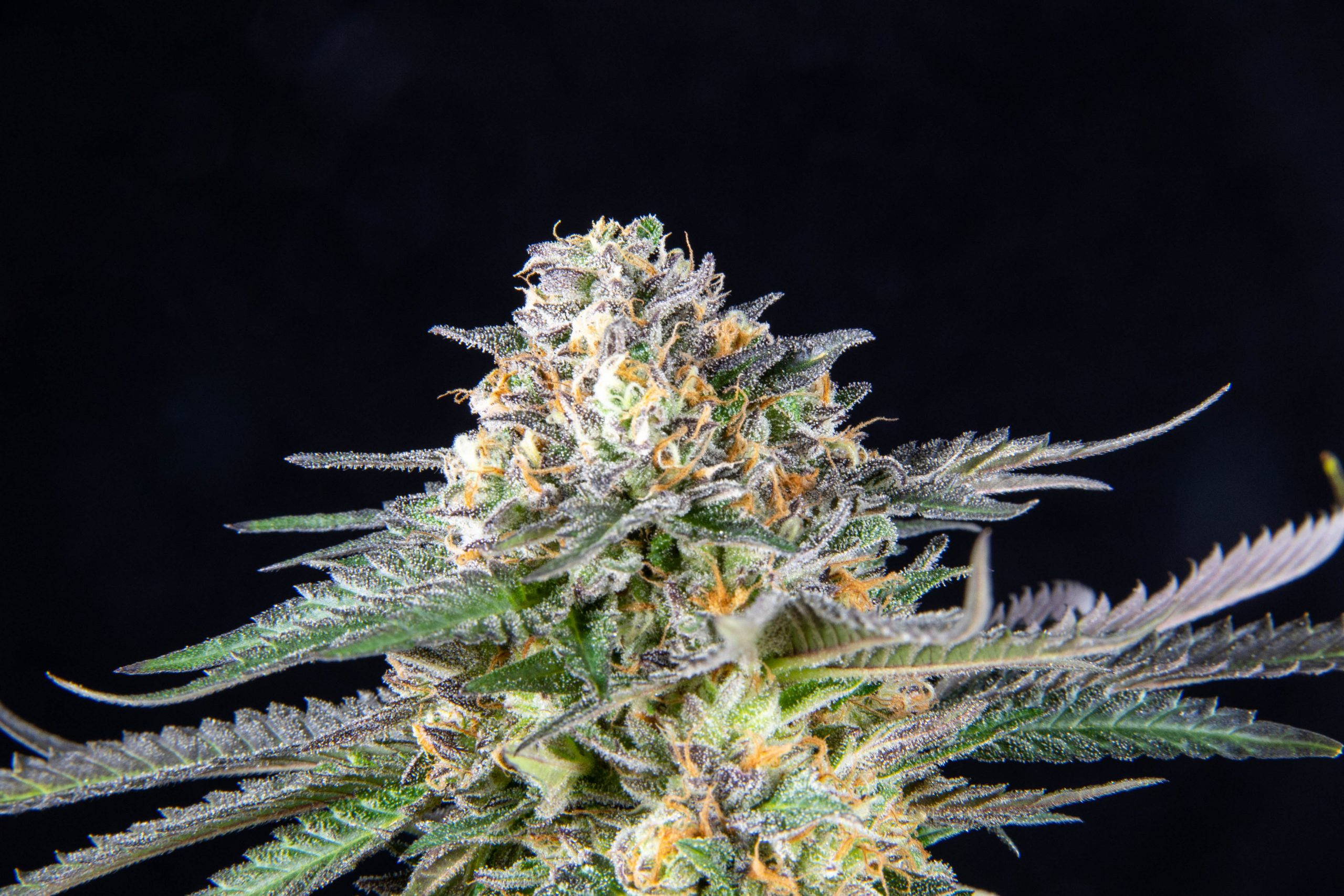 dank milk exotic cannabis flower
