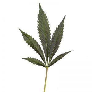 Grape Cream Pie cannabis Leaf